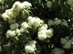 Lemon Myrtle in flower