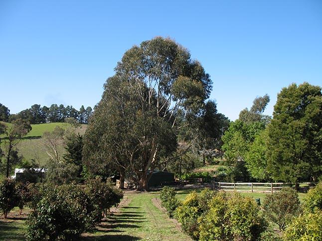 Tumbeela trees