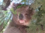 Visiting koala