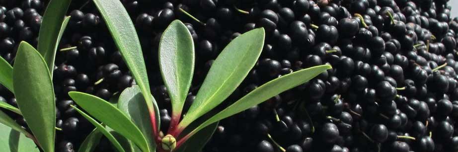 Fresh Mountain Pepper Berries