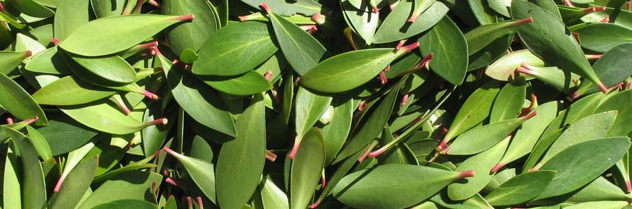 Mountain Pepper leaves