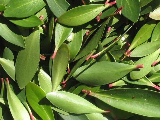 Mountain Pepper leaves