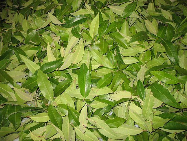 Lemon Myrtle leaves drying