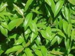 Lemon Myrtle leaves